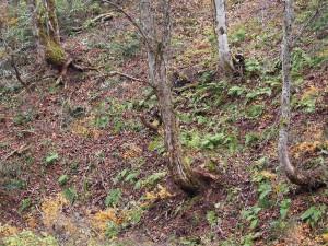 伐倒された栃の木