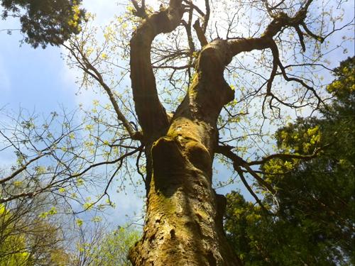 樹齢300年の大王トチ
