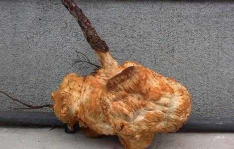 トチの根こぶ